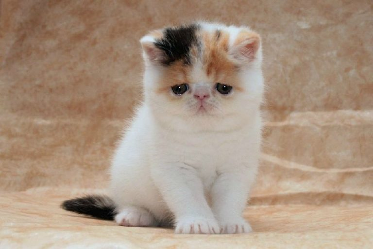 photo chat exotic shorthair