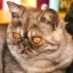Chat exotic shorthair gris