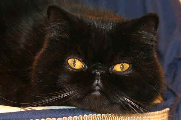 photo chat exotic shorthair noir