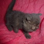 Chat exotic shorthair noir