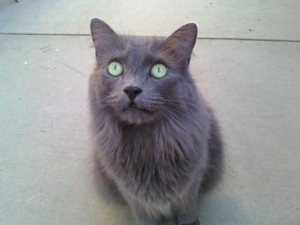 Chat Nebelung
