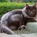 chat norvegien