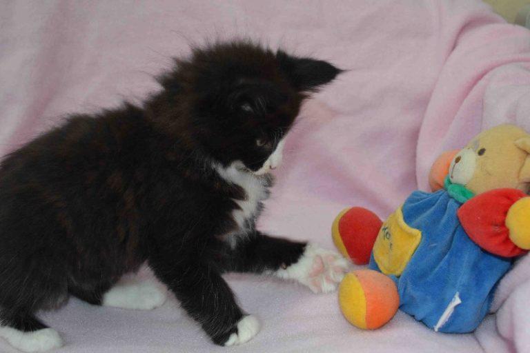 photo chat norvégien noir et blanc