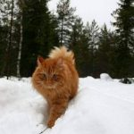 Chat norvégien roux