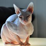 Chat siamois sans poil