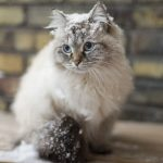 chat siberien
