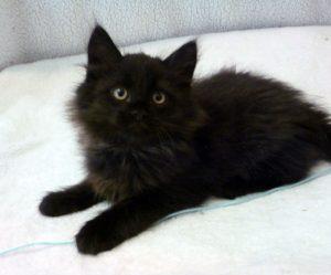 Chat sibérien noir