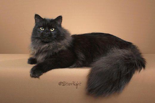 photo chat sibérien noir