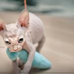 Chat sphynx bleu