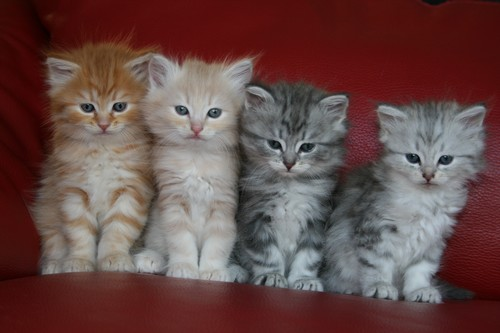 photo photo chaton 6 semaines