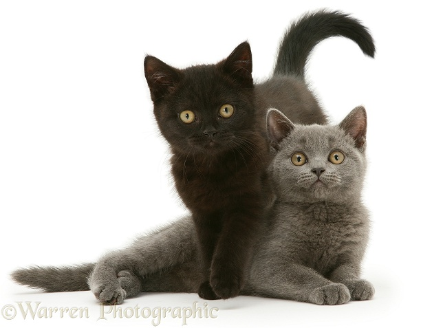 photo british shorthair noir