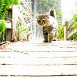 Chat Bobtail américain