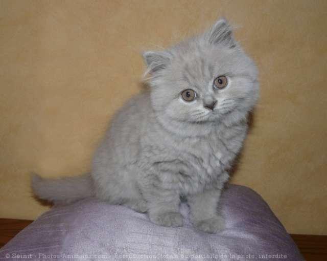 photo chat british longhair