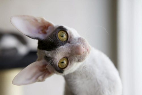 Chat Cornish rex