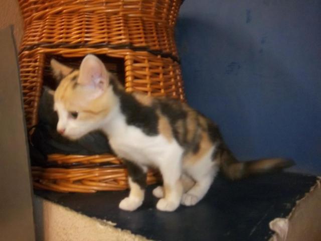 photo chat européen tricolore