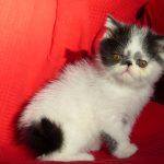 Chat exotic shorthair noir