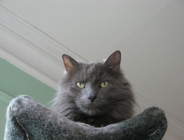 photo chat nebelung