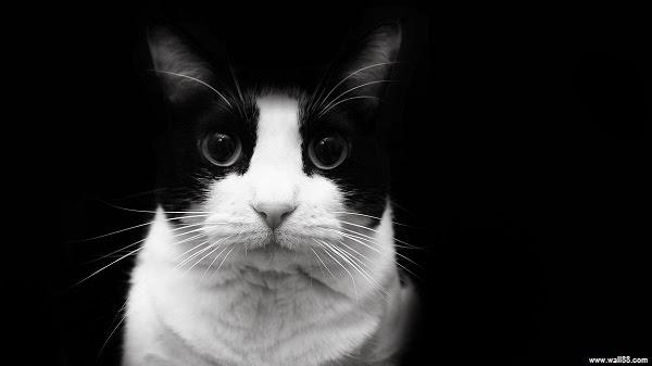 photo photo chat noir et blanc