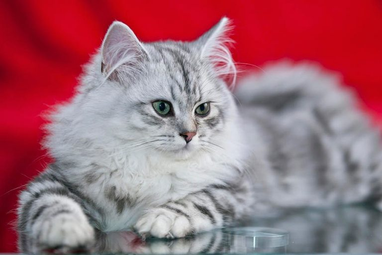 photo chat british longhair