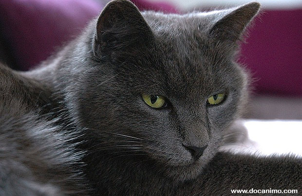 photo photo chat chartreux
