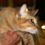 Chat Chausie