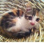 Chat européen tricolore