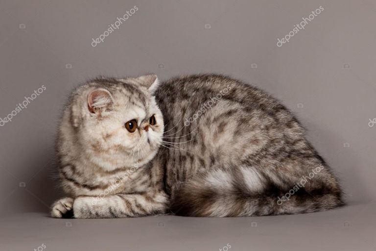 photo chat exotic shorthair gris