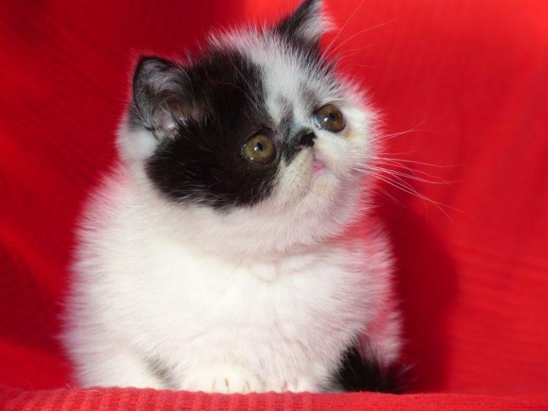photo chat exotic shorthair noir