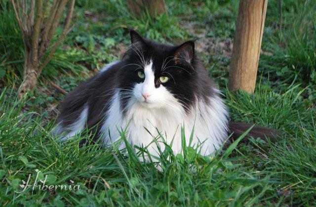 Chat norvégien noir et blanc