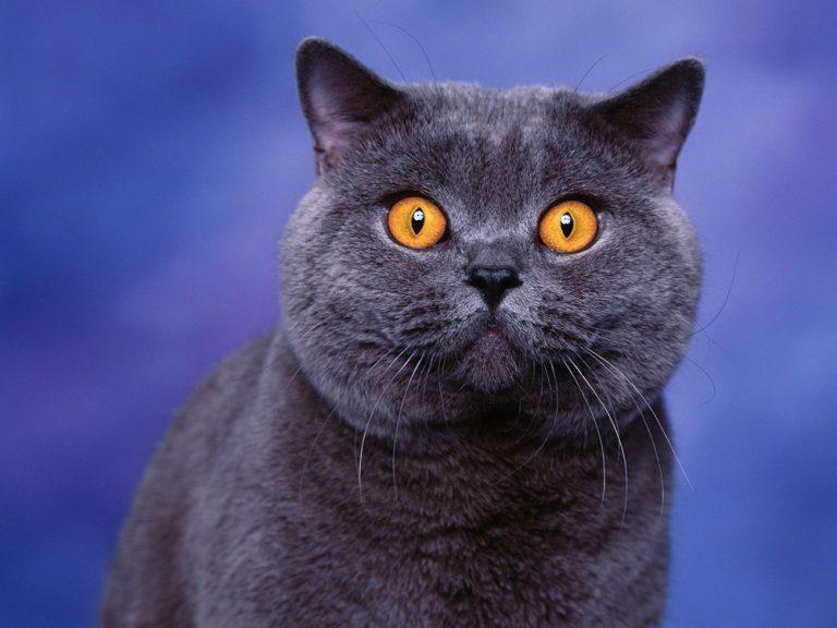 photo british shorthair bleu