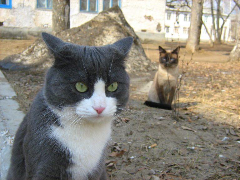 photo chat bleu russe blanc