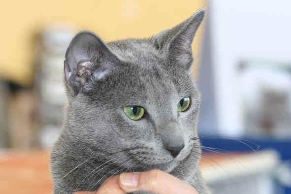 photo chat bleu russe noir