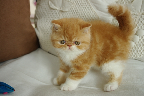 photo chat exotic shorthair roux