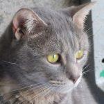 Chat gouttière gris
