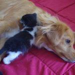 Chat gouttière noir et blanc