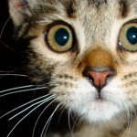 chat gros yeux