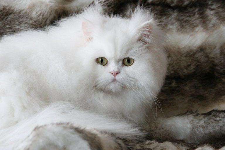 photo chat persan blanc
