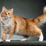 Chat sibérien roux