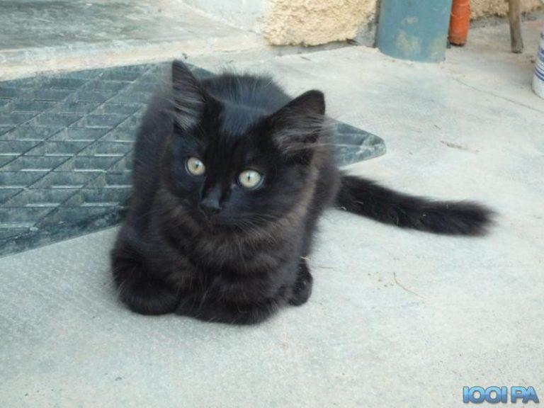 photo photo chat noir poil long